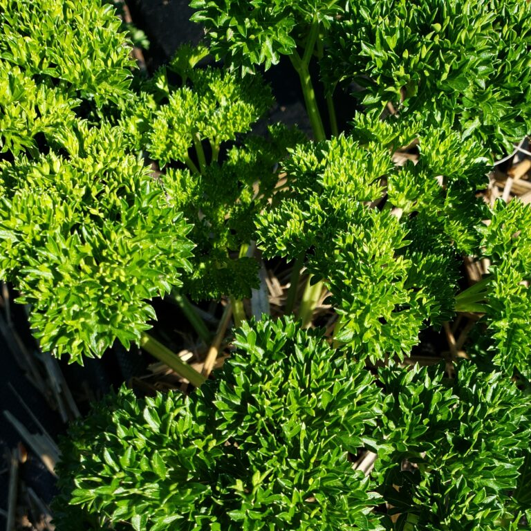 parsley, curley cropped