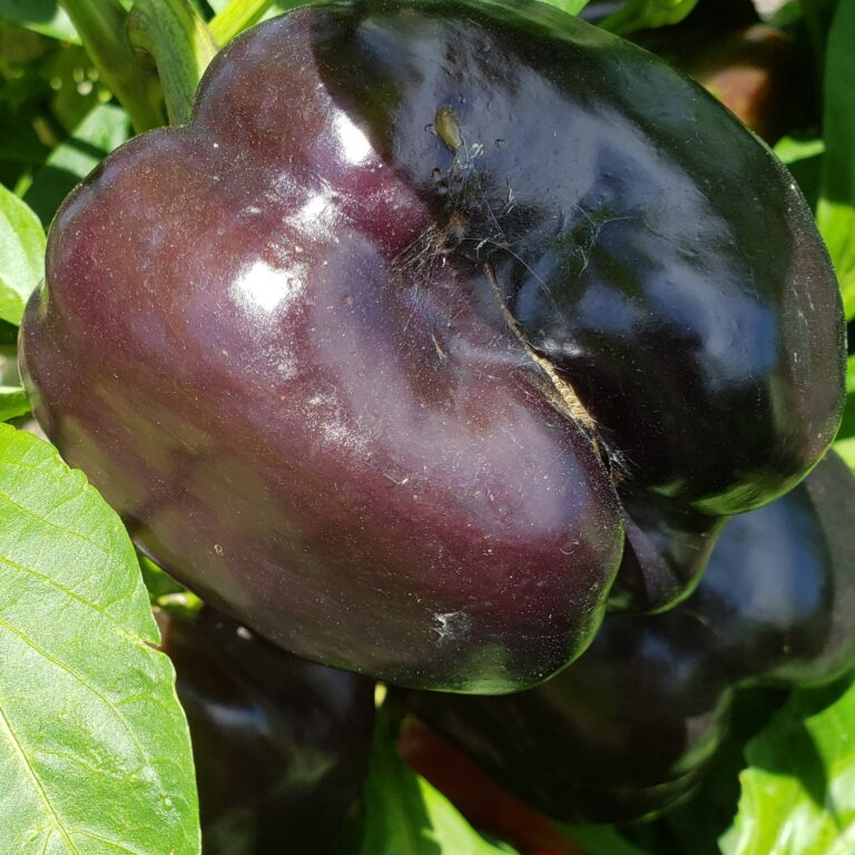 purple peppers cropped